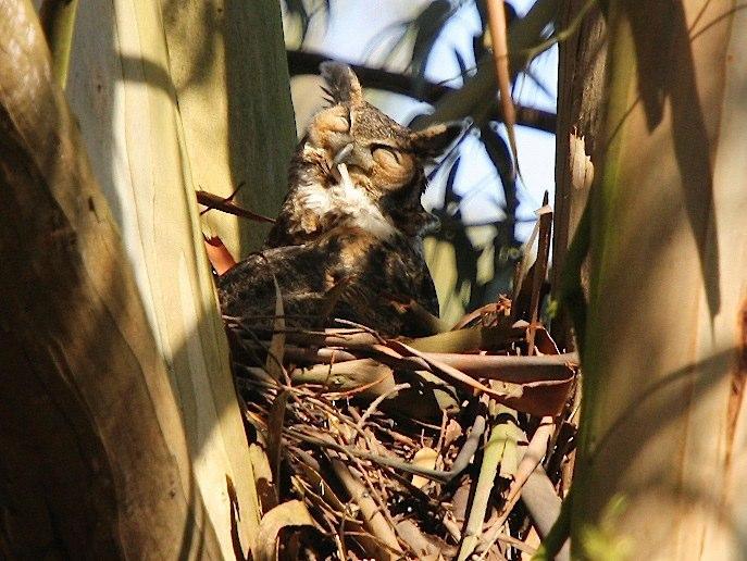 Owl nesting in eucalyptus, courtesy urbanwildness.com