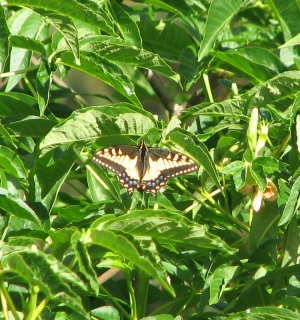 Anise Swallowtail, Sutro Forest