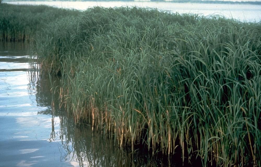 Spartina alterniflora:  Treasured on the East Coast, reviled on the West Coast