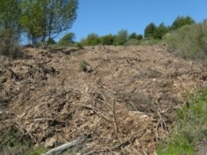 Chips of destroyed trees, UC Berkeley project.  Photo courtesy Hills Conservation Network