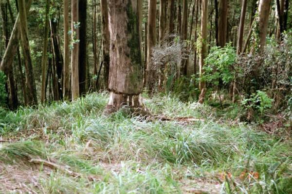 Native Pacific reed grass under girdled eucalyptus tree on Mount Davidson