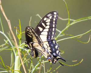 Anise Swallowtail butterfly in non-native fennel.  Courtesy urbanwildness.org