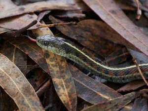 Garter snake in eucalyptus leaf litter. Courtesy Urban Wildness