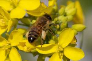 Honeybee in non-native wild mustard