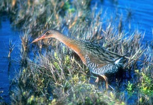 California Clapper Rail.  British Wikipedia