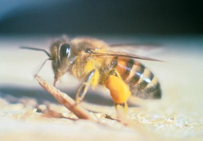 Africanized honeybee  USDA