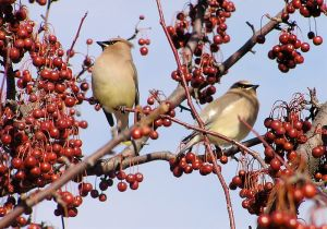 Cedar Waxwings in crab apple tree.  Wikimedia Commons