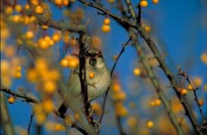 English sparrow.  US Fish & Wildlife photo