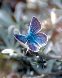 Mission Blue butterfly.  Wikimedia Commons