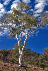 Ghost Gum.  Courtesy Cynthia Clampitt, Waltzing Australia