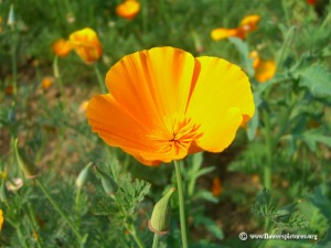 When is the California poppy blooming?