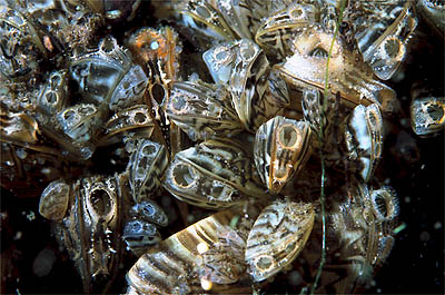 Zebra mussels, open underwater with siphons out.  Creative Commons