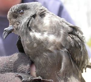 Ashy storm petrel. Creative Commons