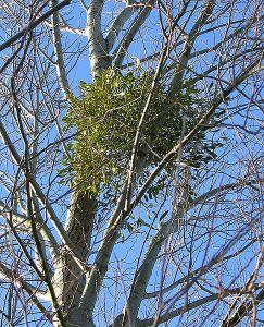 Mistletoe in silver birch.  Creative Commons