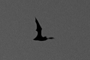Bat in Glen Canyon Park
