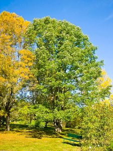 White Ash or American Ash.  Creative Commons