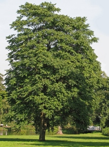 Tree of Heaven is a handsome tree.