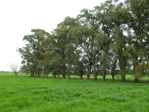 Eucalypts used an agricultural windbreak, Argentina, 2010