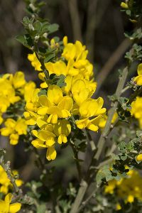 French broom in Oakland, CA.  Beautiful but hated by native plant advocates.  Share alike