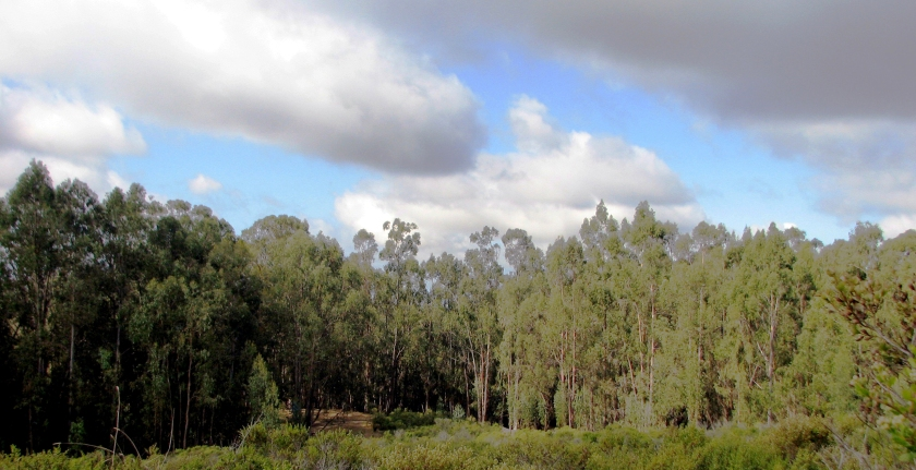 This eucalyptus forest at Chabot Park will be thinned to about 60 trees per acre.