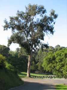 A lone eucalyptus trees in the Mountain View Cemetery.