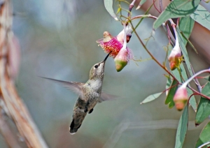 Hummingbird in eucalyptus flower. Courtesy Melanie Hoffman
