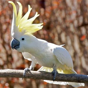 Cockatoo.  Creative Commons