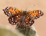 Lange's metalmark butterfly, USFWS photo
