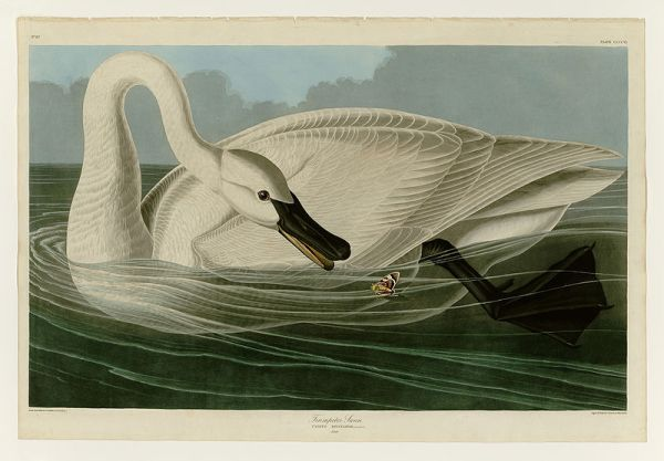 Trumpeter swan by James Audubon