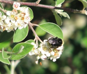 Bumblebee on Cotoneaster, Albany Bulb. Another target for eradication.