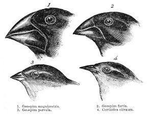 Darwin's finches are an example of rapid evolution