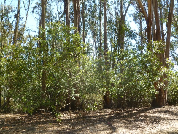 Native toyon under eucalyptus on Albany Hill