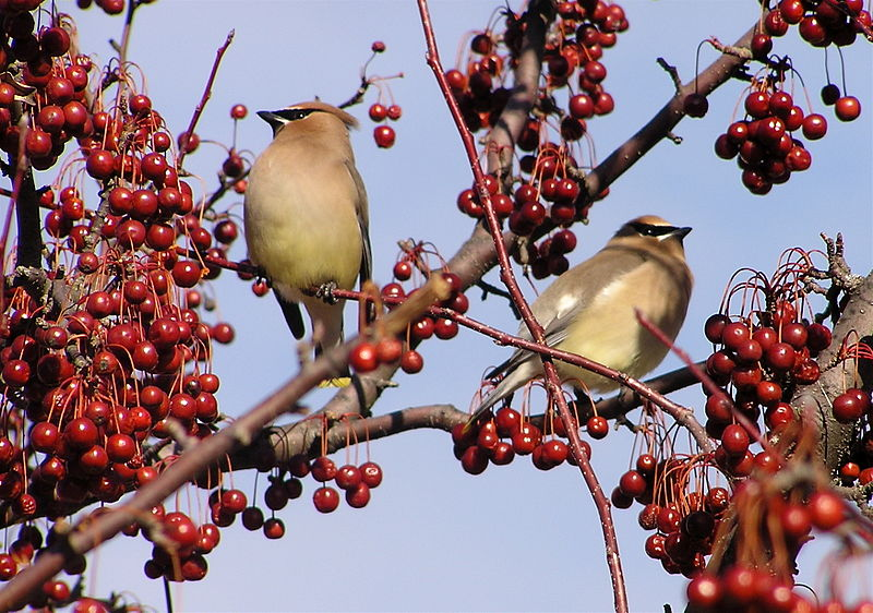 Cedar waxwings in crab apple