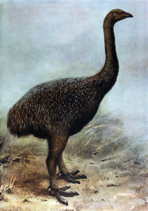 The moa was a huge flightless bird that was hunted to extinction by Polynesians when they occupied New Zealand.