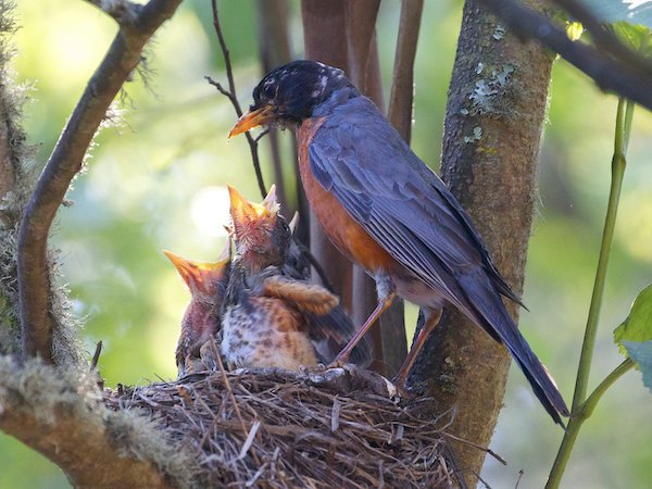 Robin and chicks.  Courtesy SF Forest Alliance