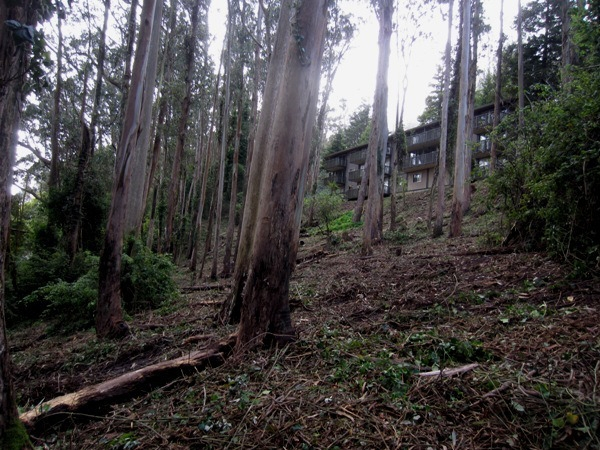 Same section of Sutro forest after tree and understory removal at the end of August 2013.  Courtesy Save Sutro