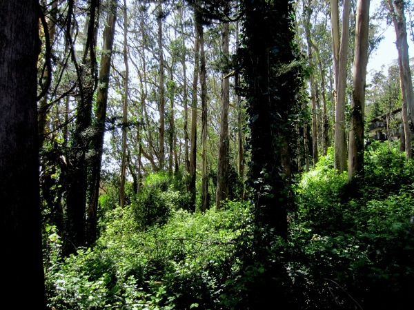 Sutro forest before recent tree removals.  Courtesy Save Sutro