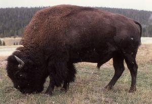American Bison.  NPS photo.
