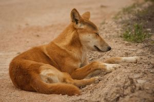 Female dingo.  Creative Commons.