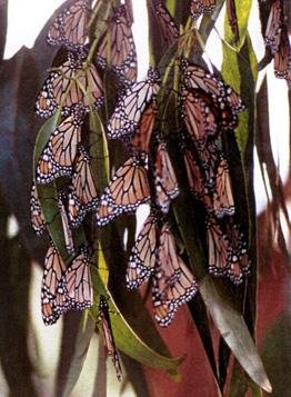 Monarch butterflies roosting in eucalyptus tree.