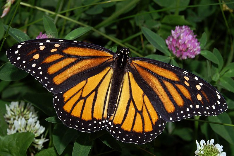Monarch butterflies in California need eucalyptus trees for their winter roost (1/2)