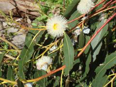 Flowers and seed capsules of Blue Gum eucalyptus