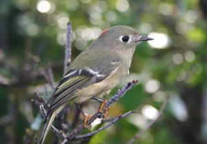 Ruby-crowned kinglet is a North American bird that feeds in the eucalyptus forest in California.  USFWS