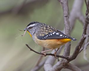 Spotted pardalote is an Australian bird with a short beak that feeds in eucalyptus forests in Australia.  Creative Commons