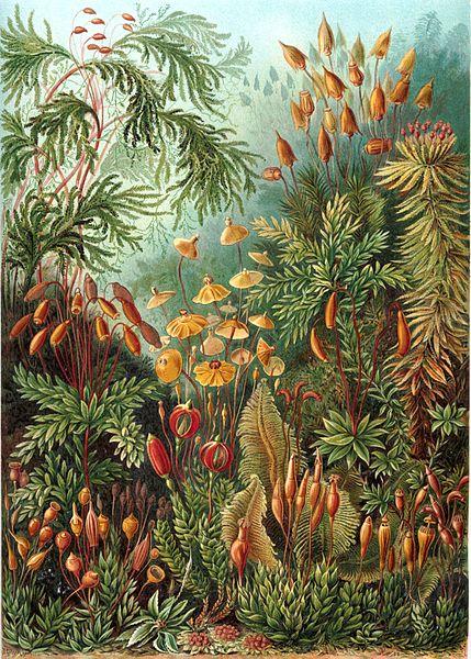 "Organisms classified as mosses.  72nd plate from Ernst Haeckel's ""Kunstformen der Natur"" (1904, public domain)"