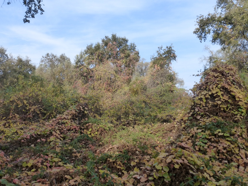 native blackberry