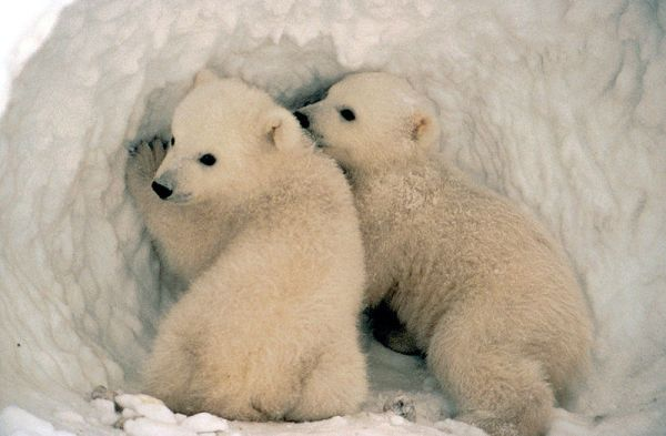 Polar bear cubs are typically nursed by their mothers for 2-1/2 years.  USFWS