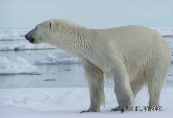 Polar bear.  Creative Commons