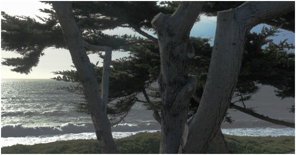 Endangered oceanfront Monterey cypress trees along Sonoma Coast