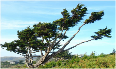 Much admired by State Highway 1 motorists, this Monterey cypress graces a Sonoma coast property.